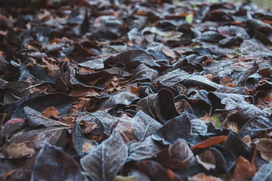 frosty winter leaves in the garden